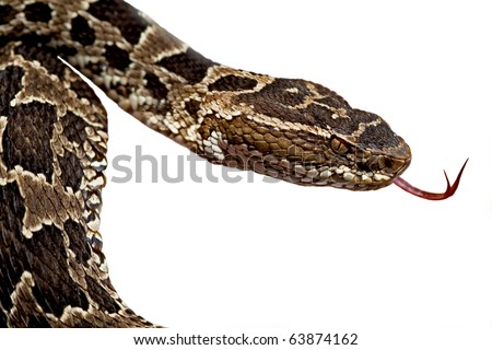 poisonous snake fer de lance or bothrops flickering its thong deadly dangerous animal poison snake venomous snake venom serpent isolated viper from amazon rain forest tropical  jungle