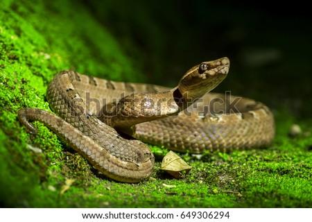 Poisonous snake, Malayan pit viper (Calloselasma rhodostoma) - Shutterstock ID 649306294