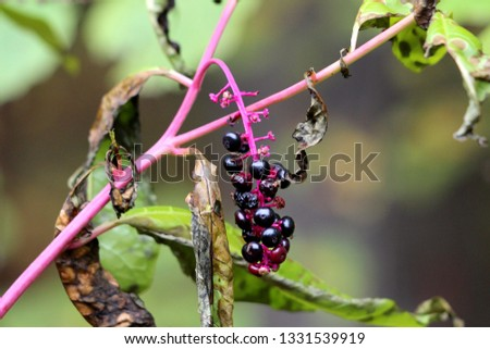 Pokeweed or Phytolacca americana or American pokeweed or Poke salad poisonous herbaceous perennial plant with small and fully ripe black berries on purple stem surrounded with brown shriveled leaves