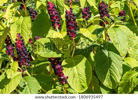 Pokeweed (Phytolacca Americana) - also known as American pokeweed, pokeweed, poke sallet, dragon berries herbaceous perennial plant. Stock photo ©