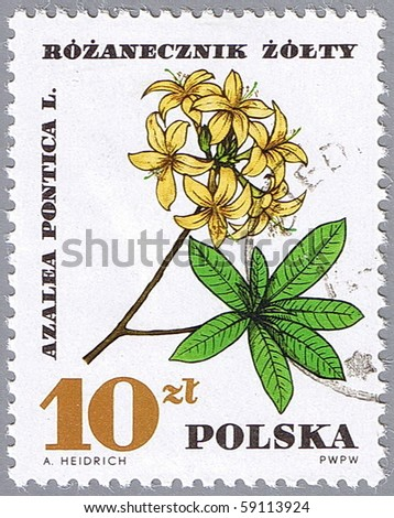 POLAND - CIRCA 1967: A stamp printed in Poland shows azalea pontica, series, circa 1967