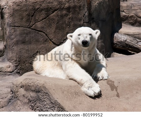 Polar Bear A polar bear (Ursus maritimus) rest on a rock in the bright sun