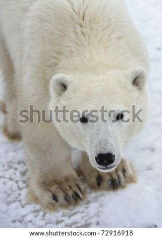Polar bear. A portrait close up at a short distance.
