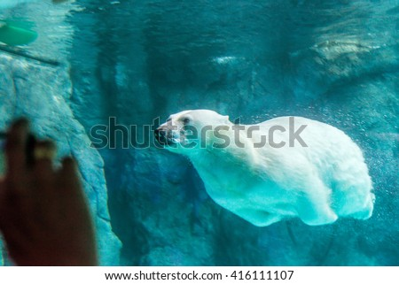 Stock Photo Polar Bear (Also known as Thalarctos Maritimus or Ursus Maritimus) swimming under water.