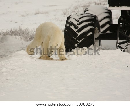 stock photo polar bear and