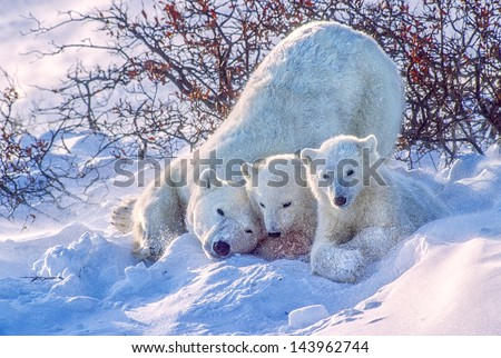 Polar bear and cubs snow flying