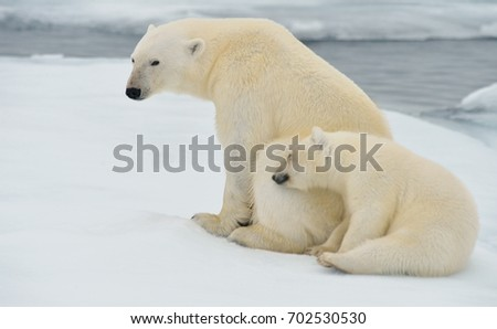 polar bear cub nuzzles sow on ice floe in norwegian arctic waters
