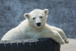 Polar bear cub on tire bed.