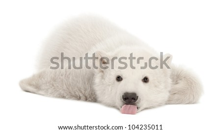 Polar bear cub, Ursus maritimus, 3 months old, lying against white background