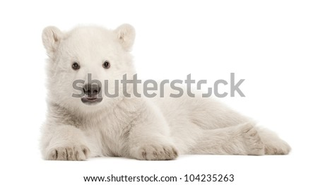 Polar bear cub, Ursus maritimus, 3 months old, lying against white background - stock photo