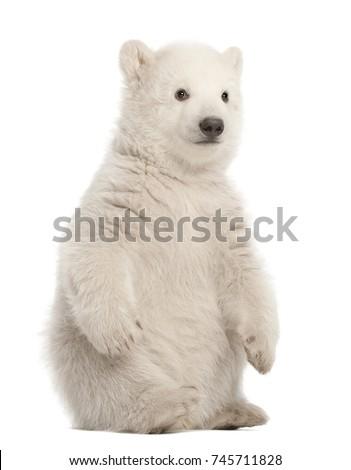 Polar bear cub, Ursus maritimus, 3 months old, sitting against white background #745711828