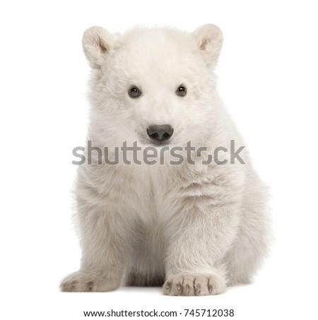 Polar bear cub, Ursus maritimus, 3 months old, sitting against white background #745712038