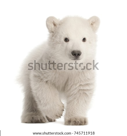 Polar bear cub, Ursus maritimus, 3 months old, walking against white background