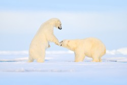 Polar bear dancing fight on the ice. Two bears love on drifting ice with snow, white animals in nature habitat, Manitoba, Canada. Animals playing in snow, Arctic wildlife. Funny image in nature.