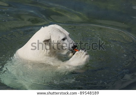 Polar bear eats carrot