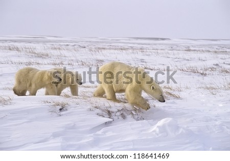 Polar bear family crossing the Arctic tundra.