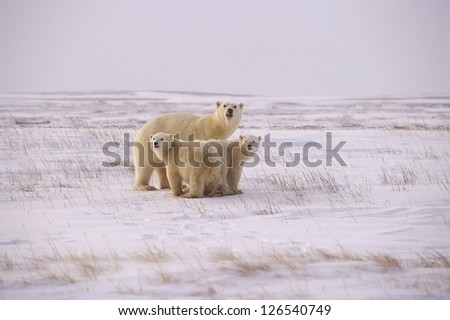 Polar bear family on the Arctic tundra