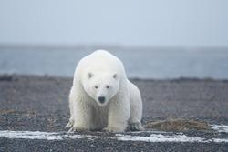 polar bear from Kaktovik arctic region in Alaska
