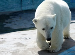 polar bear goes to the pool in the zoo in summer