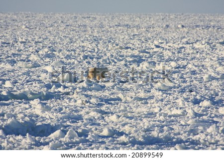 Polar bear hunting seals on the ice cap in Hudson Bay, Canada