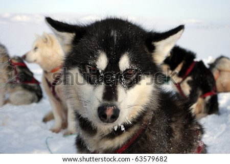 Polar-bear-hunting sled dog on winter pack ice of East Greenland
