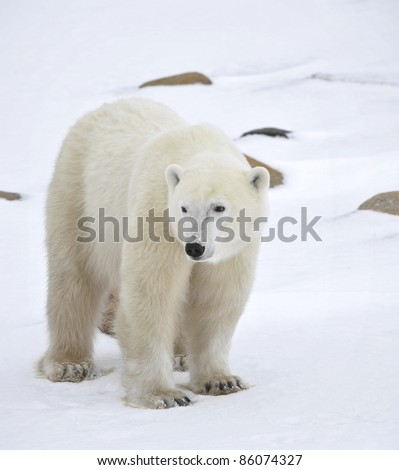 Polar bear in a native habitat. Snow. A frost. Winter.