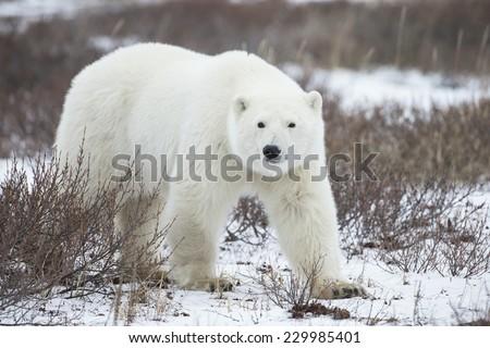 Polar Bear in Sub Arctic near York Factory Manitoba