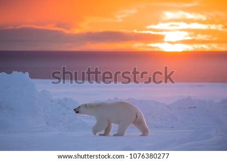 Polar Bear in Sunset #1076380277