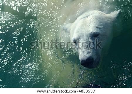 Polar bear in water - stock photo