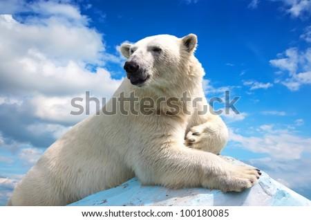 polar bear in wildness area against sky