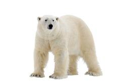 Polar Bear isolated on the white background