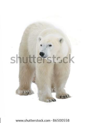 Polar Bear isolated on the white background.