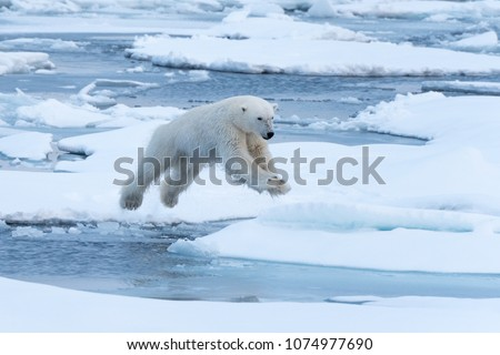 Polar Bear leaping a gap in the ice. In mid-air. #1074977690