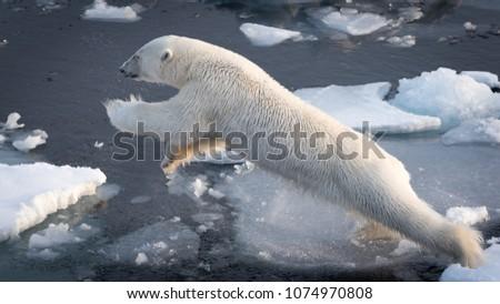 Polar Bear leaping at full stretch #1074970808
