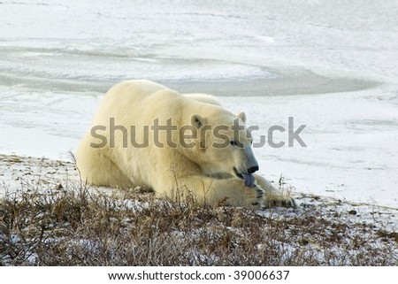 Polar bear licking paw in Canadian Arctic