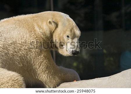 Polar Bear Looking Back