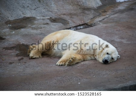 Polar bear lying resting on the concrete floor of the enclosure at the zoo. Marine animals, mammals, ecology.