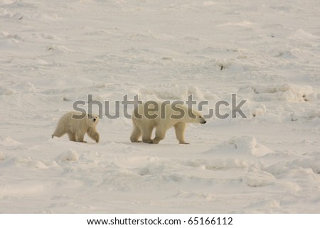 Polar bear mother and cub walking in the arctic in search of food near Hudson Bay