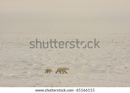 Polar bear mother and cub walking in the arctic in search of food near Hudson Bay.  The expanse of the frozen tundra is shown.
