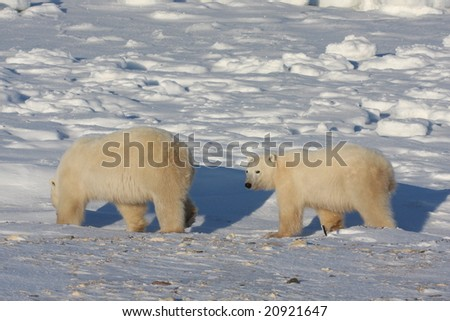 Polar bear mother and cub walking on the arctic snow pack