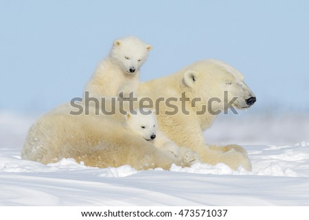 Polar bear mother (Ursus maritimus) playing with two cubs, Wapusk National Park, Manitoba, Canada #473571037