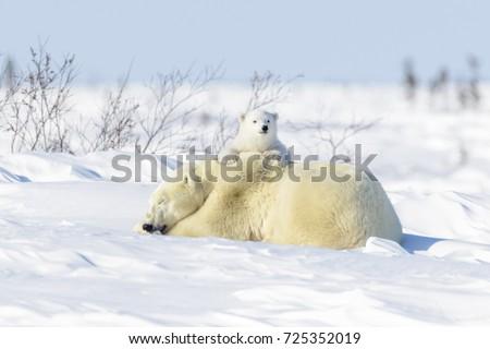 Polar bear mother (Ursus maritimus) ying down on tundra, with new born playing, Wapusk National Park, Manitoba, Canada #725352019