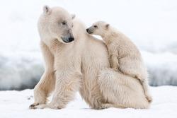 Polar bear, northern arctic predator. Polar bear in natural habitat.