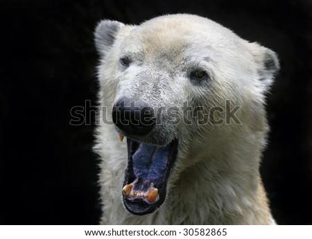 Polar Bears Background Polar Bear on Black Background