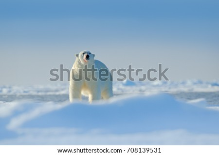 Polar bear on drifting ice edge with snow in Arctic Russia. White animal in the nature habitat, Russia. Wildlife scene from nature. Polar bear walking on the ice.