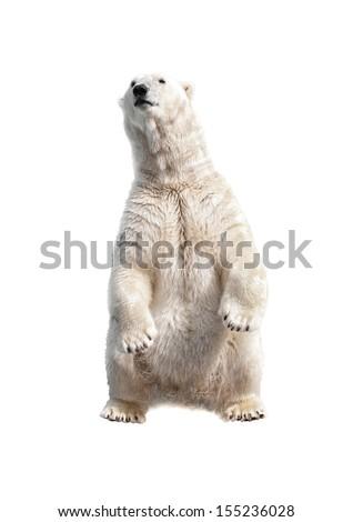 Polar bear on his hind legs isolated on a white