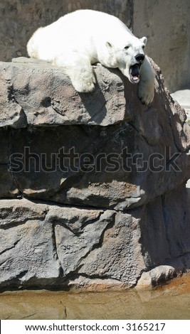 polar bear on rock above water with mouth open