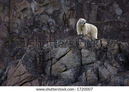 Polar bear on rock face