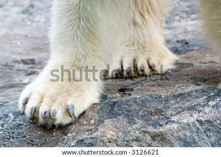 Polar Bear on rocks. Extreme Close-up on paws. It is not Knut...