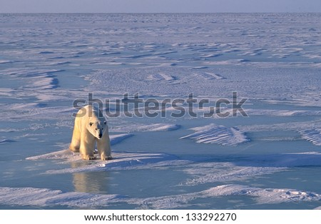 Polar bear on the ice in Hudson's Bay. Canadian Arctic - stock photo